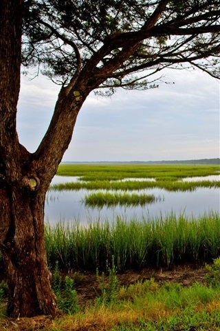 iPhone Wallpaper Amelia Island, Florida, USA, tree, grass, swamp