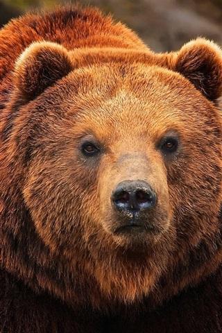 iPhone Wallpaper Brown bear, face close-up