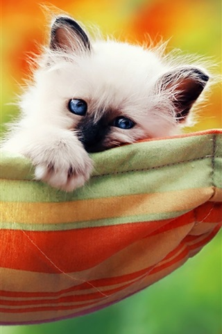 iPhone Wallpaper Cute white kitty, blue eyes, hammock