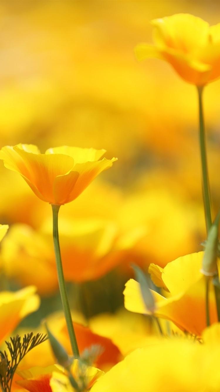 ハナビシソウ 黄色の花 750x1334 Iphone 8 7 6 6s 壁紙 背景 画像