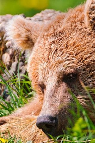 iPhone Wallpaper Bear sleep, grass