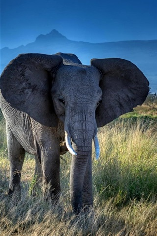 iPhone Wallpaper Elephant, big ears, tusks, African, grass, trees