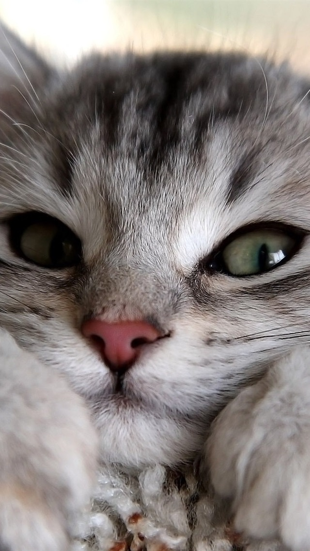Wallpaper Gray Cat Looking Furry 1920x1200 Hd Picture Image