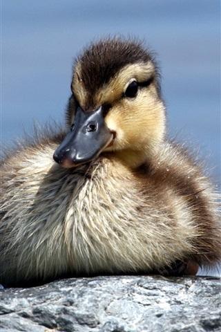 iPhone Wallpaper Little duck