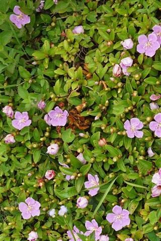 iPhone Wallpaper Parnassia palustris, many pink flowers