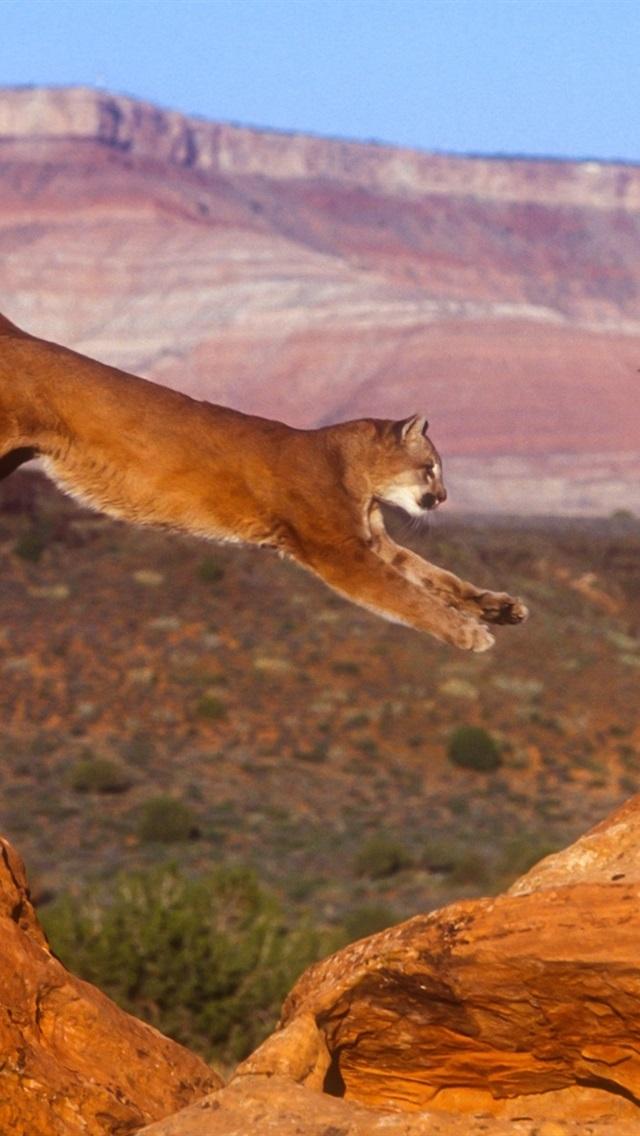 Puma Cougar Mountain Lion Jump 640x1136 Iphone 5 5s 5c Se