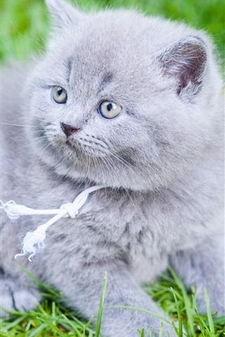 iPhone Wallpaper British Shorthair, gray kitten, grass