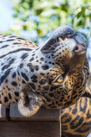 iPhone Wallpaper Sleep, jaguar, wild cat, predator, face