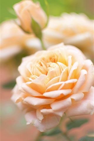 iPhone Wallpaper Yellow rose, flower macro