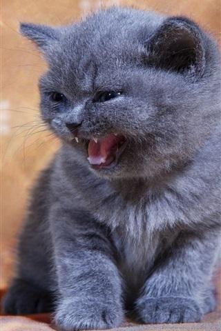 iPhone Wallpaper British shorthair, kitten, yawn