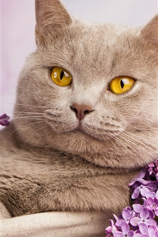 iPhone Wallpaper British shorthair, yellow eyes, portrait, flowers