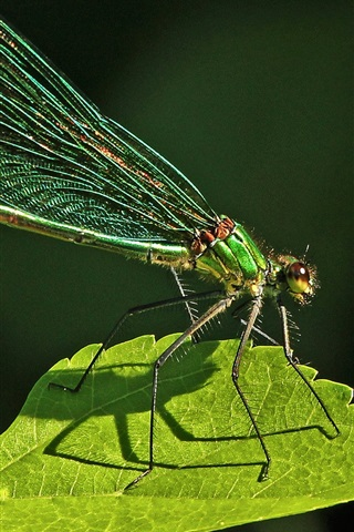 iPhone Wallpaper Dragonfly, insect, green leaf