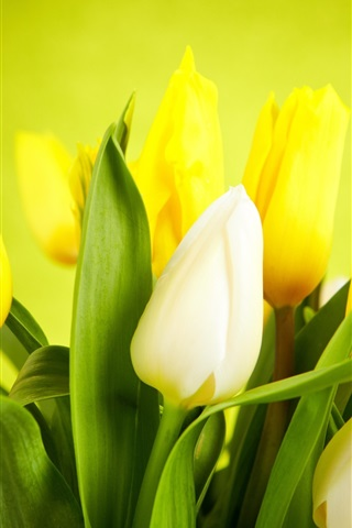 iPhone Обои Цветы макро, тюльпаны, белые, желтые