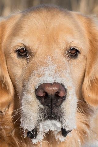 iPhone Wallpaper Golden retriever, dog, eyes, snow