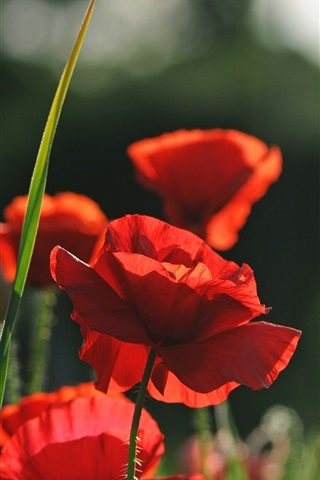iPhone Wallpaper Red flowers, poppies, summer