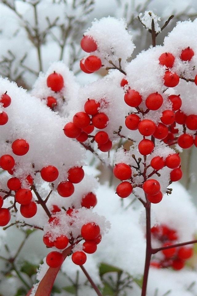 Twigs, snow, winter, red berries