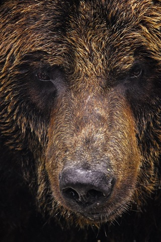 iPhone Wallpaper Animal close-up, bear, grizzly bear, face