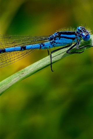 iPhone Wallpaper Blue dragonfly, insect, leaf