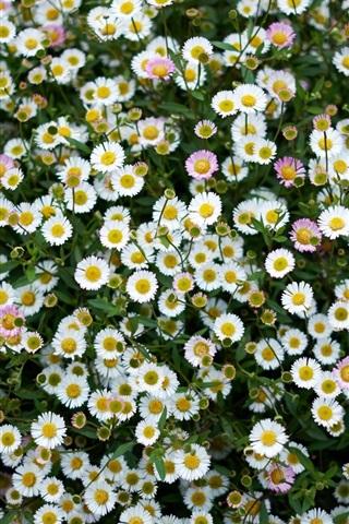 iPhone Wallpaper Daisies, meadow, little flowers