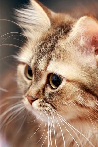 iPhone Wallpaper Fluffy cat, mustache, eyes