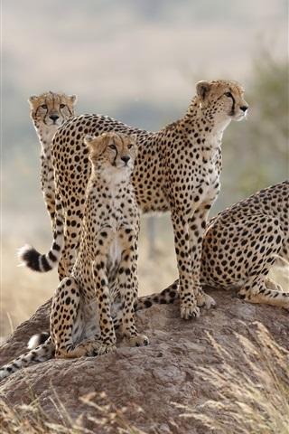 iPhone Wallpaper Four cheetah, family, grass