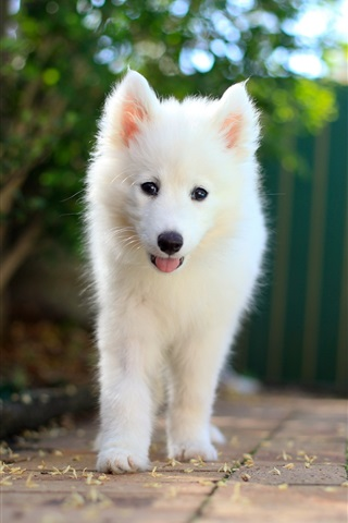 iPhone Wallpaper Samoyed puppy, white dog