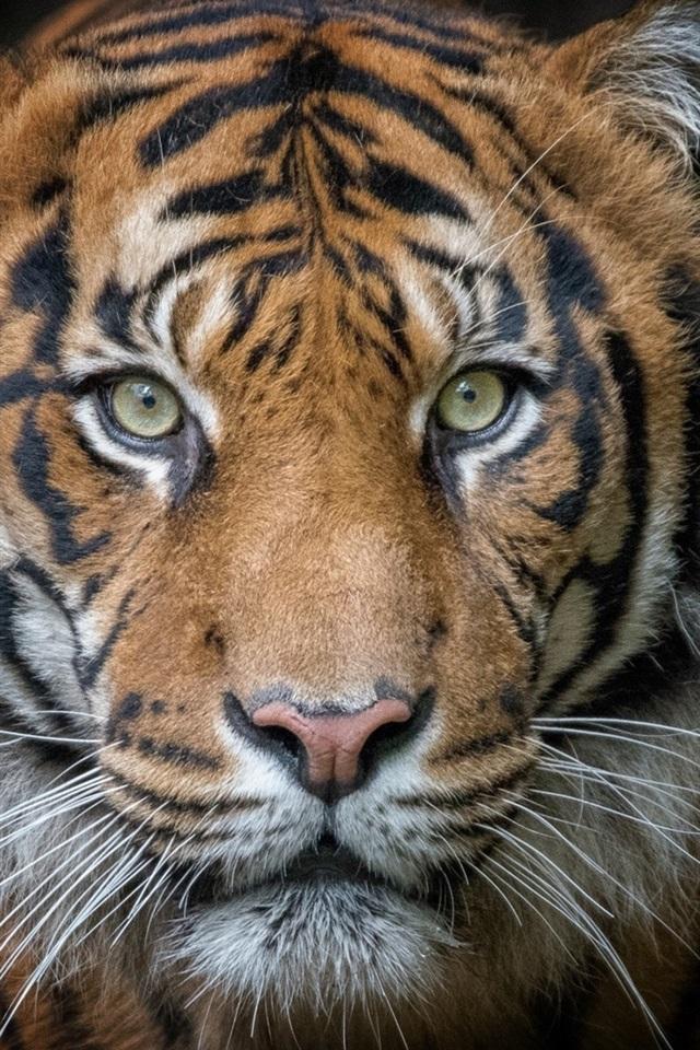 wallpaper tiger  portrait  predator  face  black