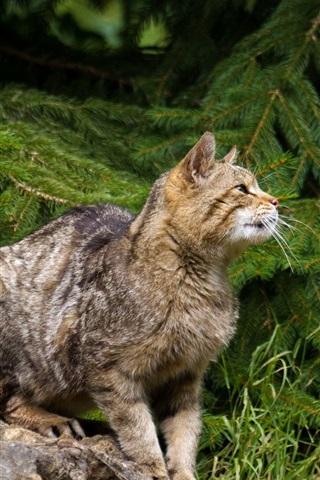 iPhone Wallpaper Wild cat, spruce, grass, stone