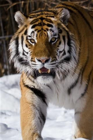 iPhone Wallpaper Amur tiger, snow, winter