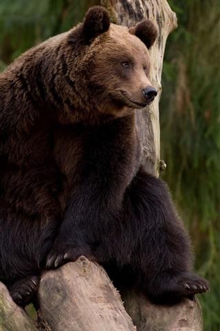 iPhone Wallpaper Bear climb tree, rest