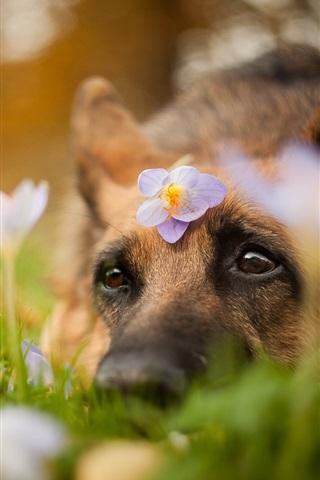 iPhone Wallpaper Dog, head, eyes, look, flowers
