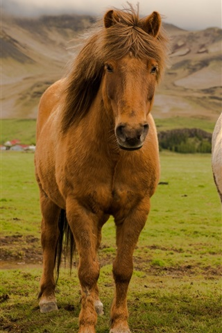 iPhone Wallpaper Iceland, two horses