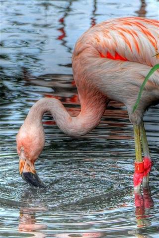 iPhone Papéis de Parede lagoa, flamingo, grama