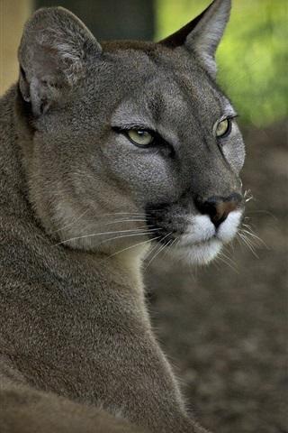 iPhone Wallpaper Wild cat, puma, predator, forest