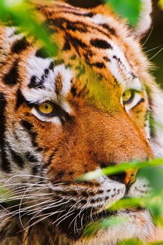 iPhone Wallpaper Animal close-up, tiger, big cat, plants