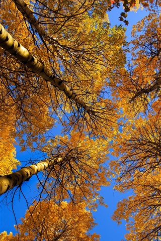 iPhone Wallpaper Birch, trees, trunk, yellow leaves, autumn
