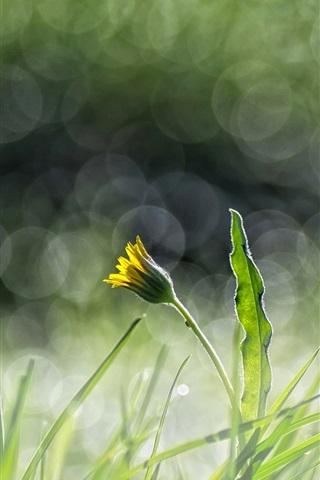 iPhone Wallpaper Green grass, yellow flower, dandelion, glare