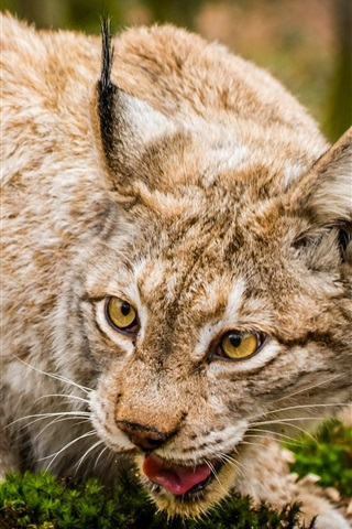 iPhone Wallpaper Lynx, wild cat, face close-up