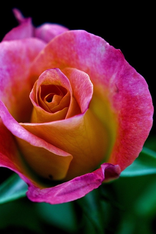One Pink Rose Flower Close Up Black Background 640x1136 Iphone 5 5s 5c Se Wallpaper Background Picture Image