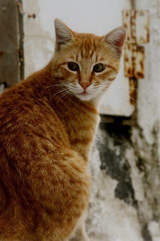 iPhone Wallpaper Orange cat look back