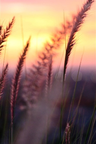 iPhone Wallpaper Plant macro photography, sunset, grass, leaves, blur