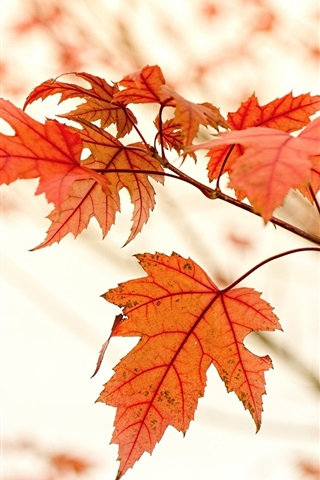iPhone Wallpaper Red maple leaves, autumn, glare