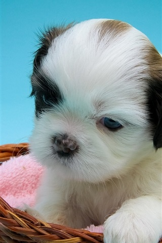 iPhone Wallpaper Shih Tzu, puppy, basket
