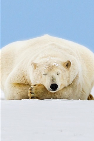 iPhone Wallpaper Alaska, polar bear sleep, ice, snow