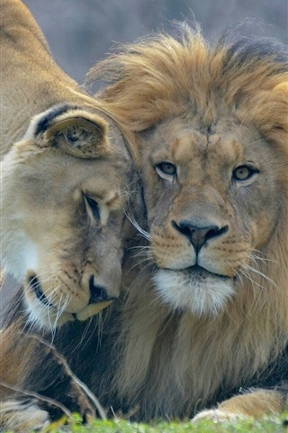 iPhone Wallpaper Animal's love, lion and lioness