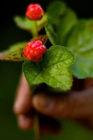 iPhone Wallpaper Berries, cloudberries, bokeh