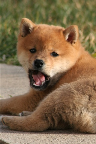 iPhone Wallpaper Brown puppy, lying, yawn