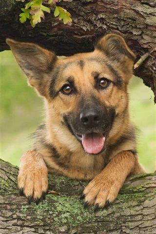 iPhone Wallpaper German shepherd, dog, wood, tree