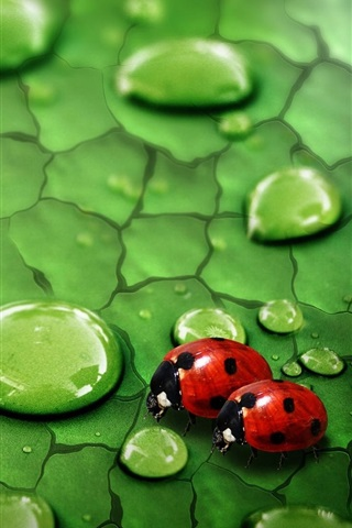 iPhone Wallpaper Green leaf, water drops, dew, insects, ladybirds