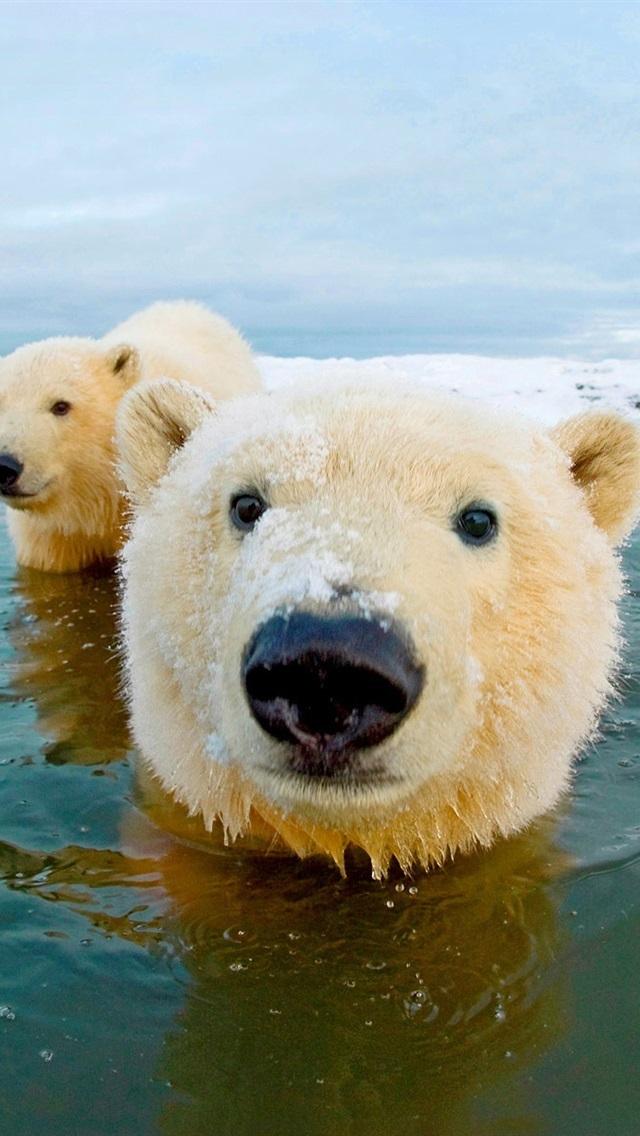fond d'écran ours blanc